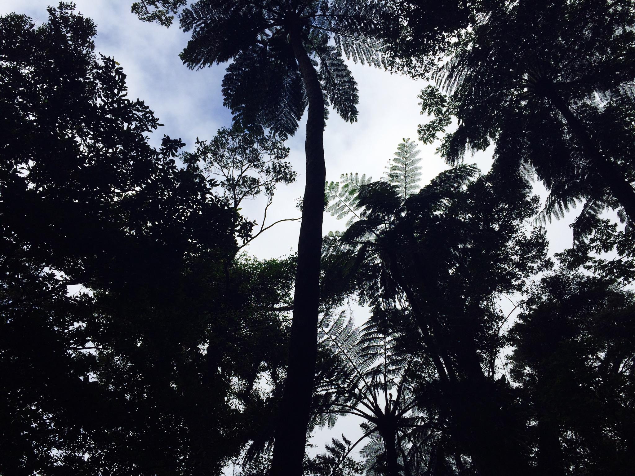金作原原生林のトレッキング中、ものすごく育ったシダ植物。奄美の自然すごい